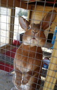 standard-rex-for-sale-red-self-show-rabbit-pedigreed